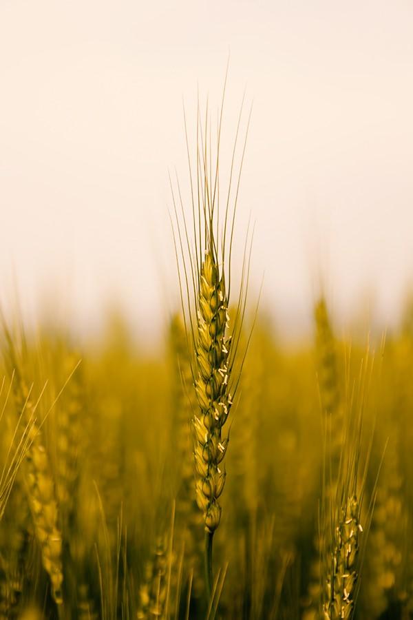 これからの時代、小麦をトップランナーにした福祉×農業が熱いでしょ!